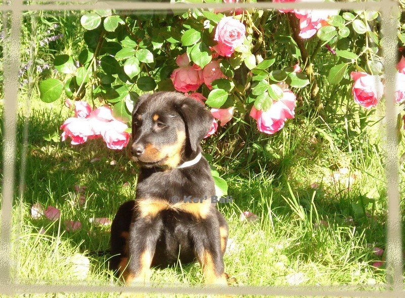CHILOE CHIOTS LOF BERGER DE BEAUCE