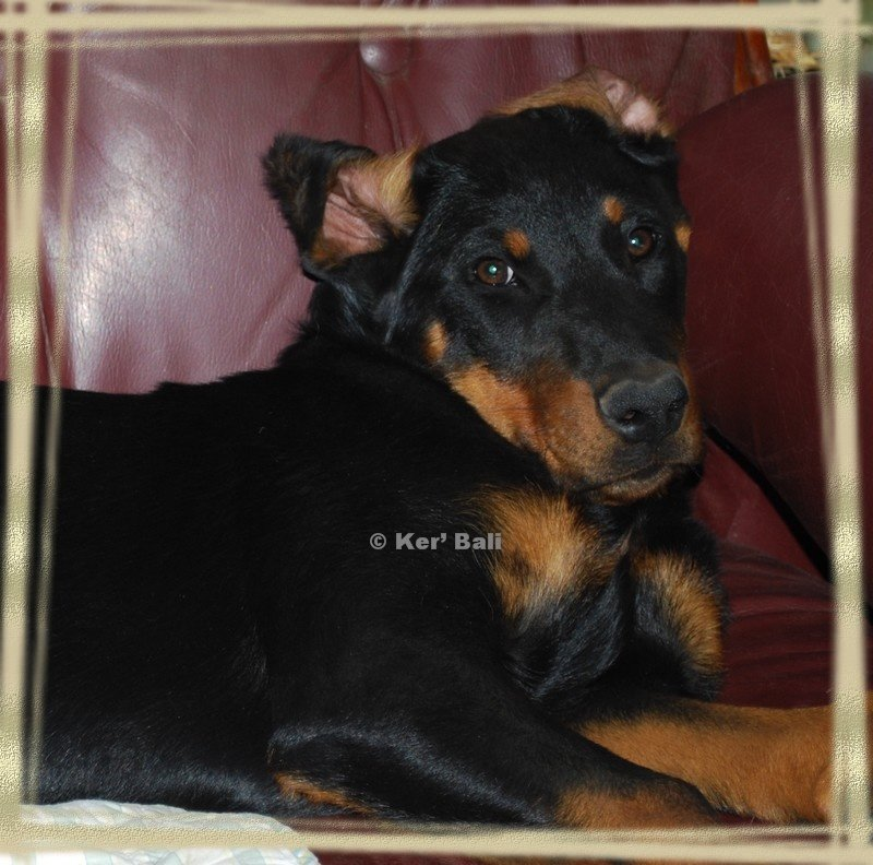 FEREL CHIOTS LOF BERGER DE BEAUCE